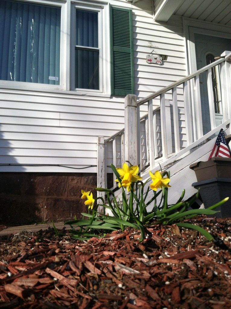 First Spring Daffodils
