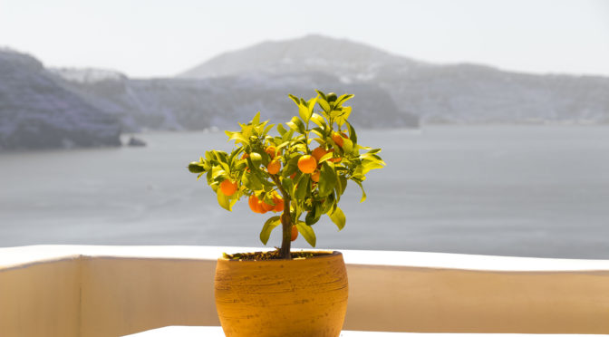 Orange tree in pot in Mediterranean
