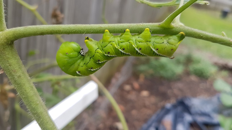 amazing photo of a giant hornworm on a tomato plant