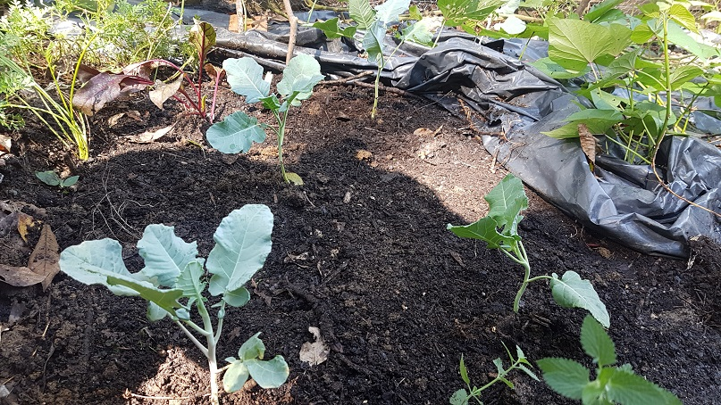 fall garden vegetable planting