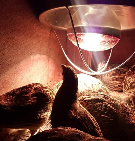 quail with heat lamp