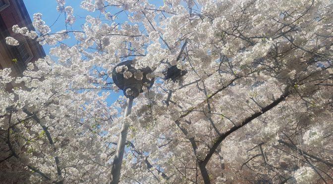 spring tree blooms