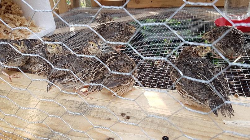 new quail coop!